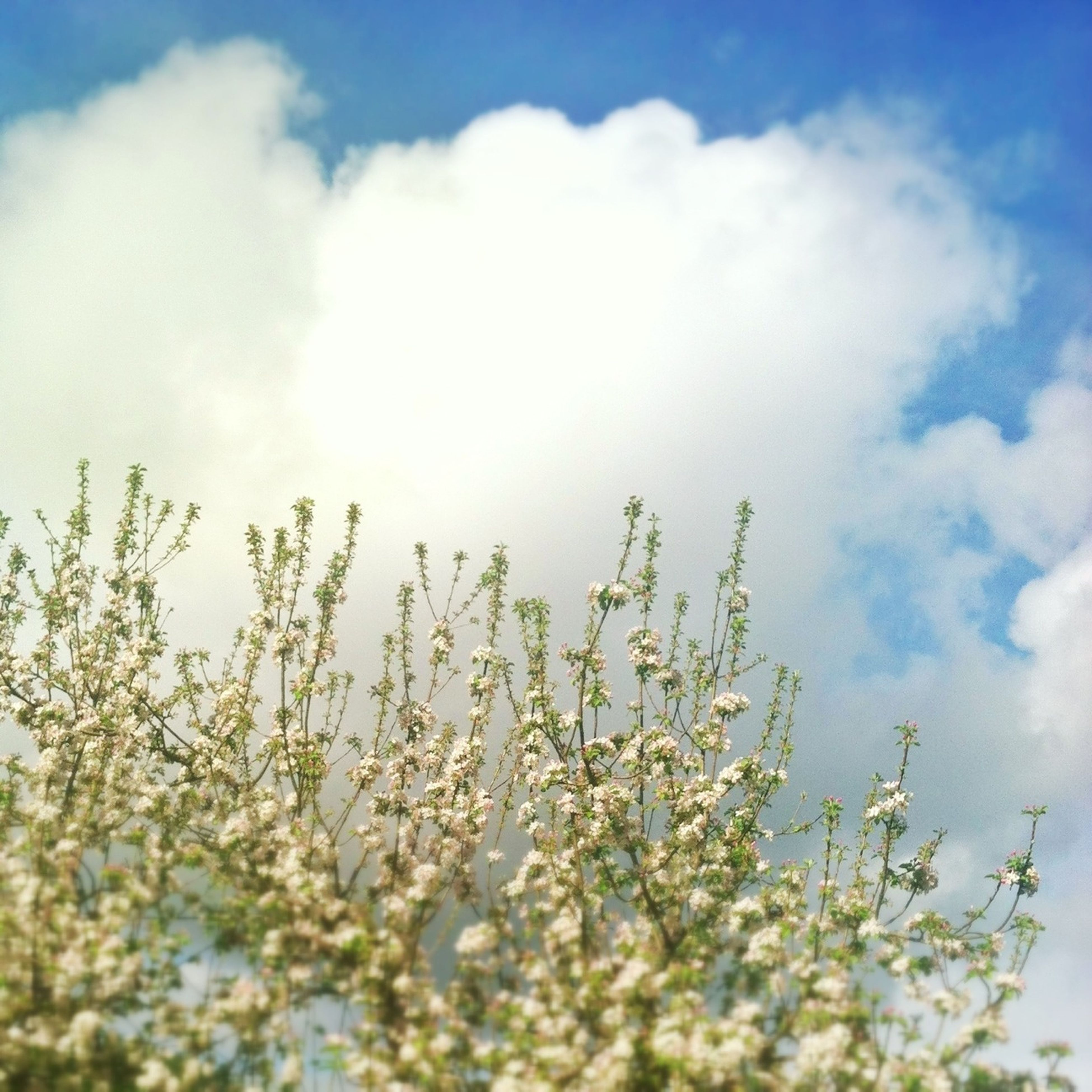 flower, growth, freshness, sky, beauty in nature, fragility, nature, cloud - sky, plant, low angle view, blooming, petal, in bloom, white color, cloud, blossom, tranquility, day, springtime, flower head