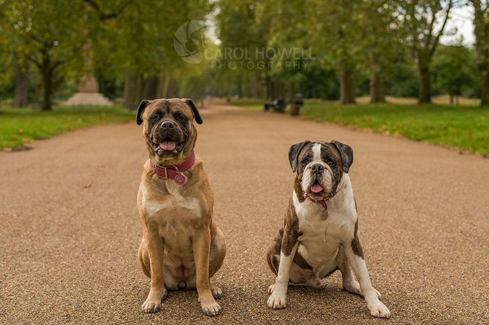 Elderly Hyde park couple ❤️ I Love Dogs Nikon Happy Pets Corner Wolfe Does UK Pet Photography  Dog Boxer Mastiff