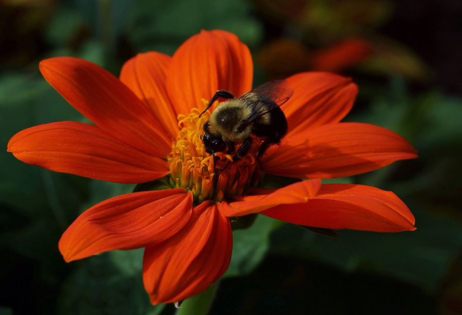 Beautiful stock photos of bee, Animal Themes, Bee, Day, Flower