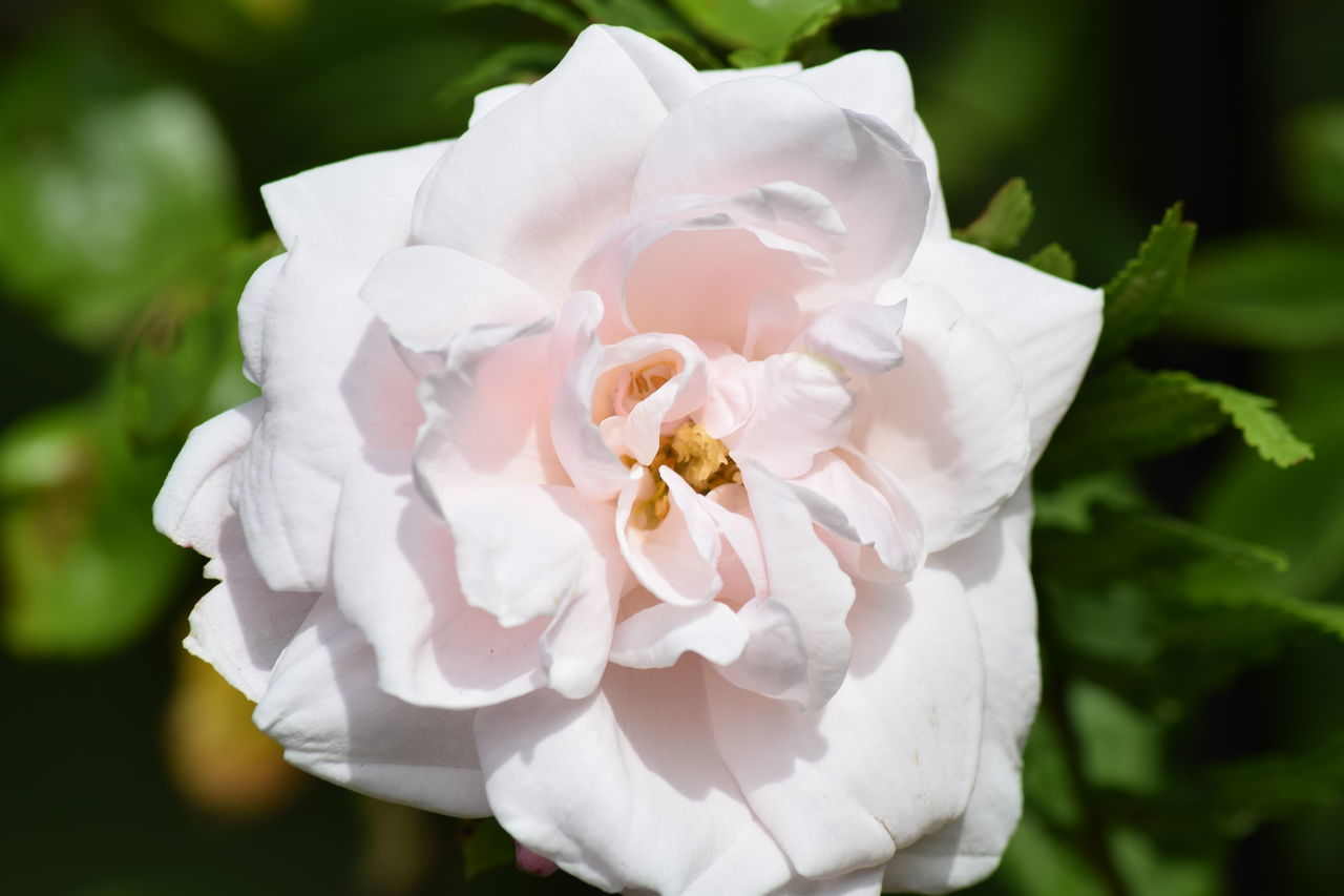 Beauty In Nature Botany Close-up Day Flower Flower Head Fragility Freshness Garden Flowers Greenery Growth Nature No People Outdoors Petal Pink Rose Plant