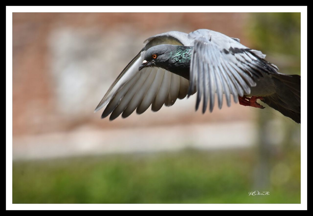 bird, spread wings, flying, animal themes, animals in the wild, one animal, mid-air, focus on foreground, animal wildlife, day, nature, no people, outdoors, close-up, beauty in nature
