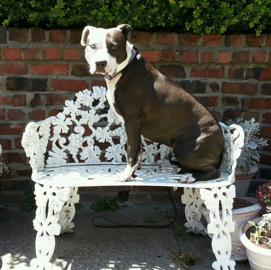 Beautiful stock photos of pitbull, Animal Themes, Bench, Brick Wall, Day