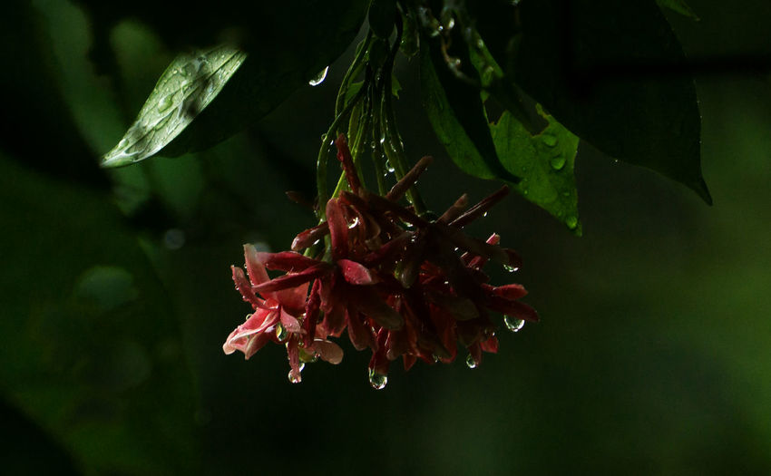 Flower and Rain... Completing each other After The Rain Raining Rainy Days Under The Rain Water Droplets Water Drops After Rain Beauty In Nature Close-up Day Flower Flower Head Fragility Freshness Growth Nature No People Outdoors Petal Plant Red Water Droplets On Flower