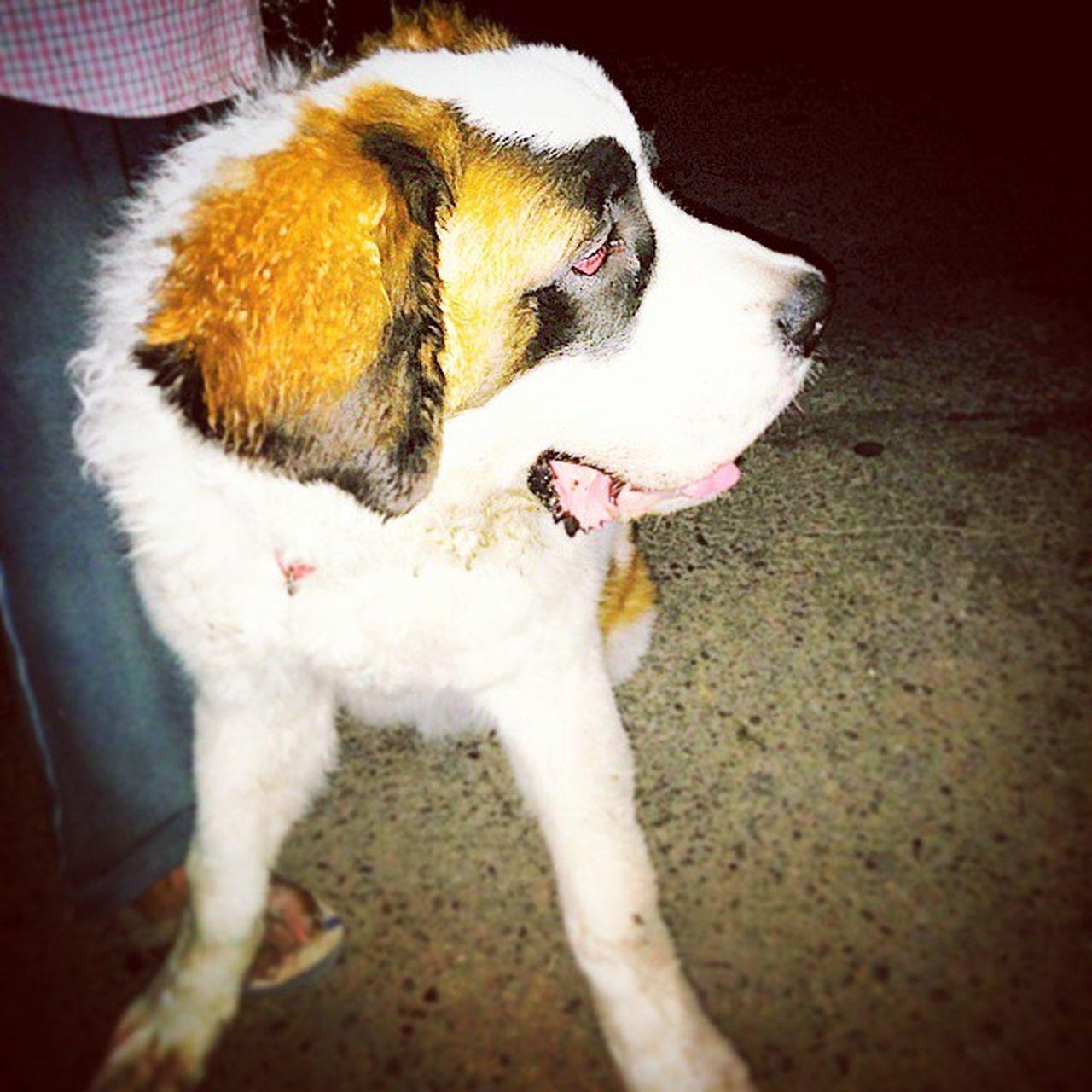 Baadal Stbernard DogPerson Doglover Nexus5photography