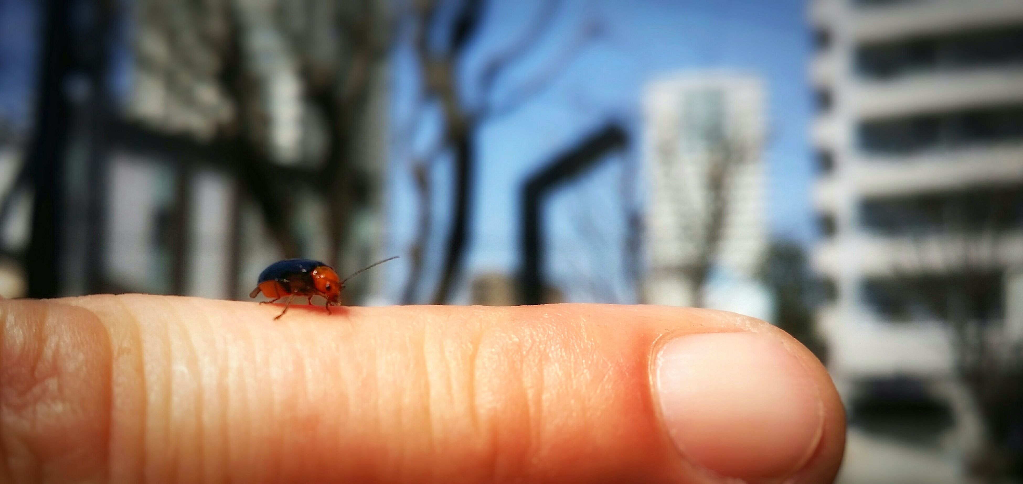 person, insect, animal themes, one animal, animals in the wild, wildlife, human finger, holding, focus on foreground, part of, close-up, unrecognizable person, cropped, personal perspective, ladybug, lifestyles, selective focus