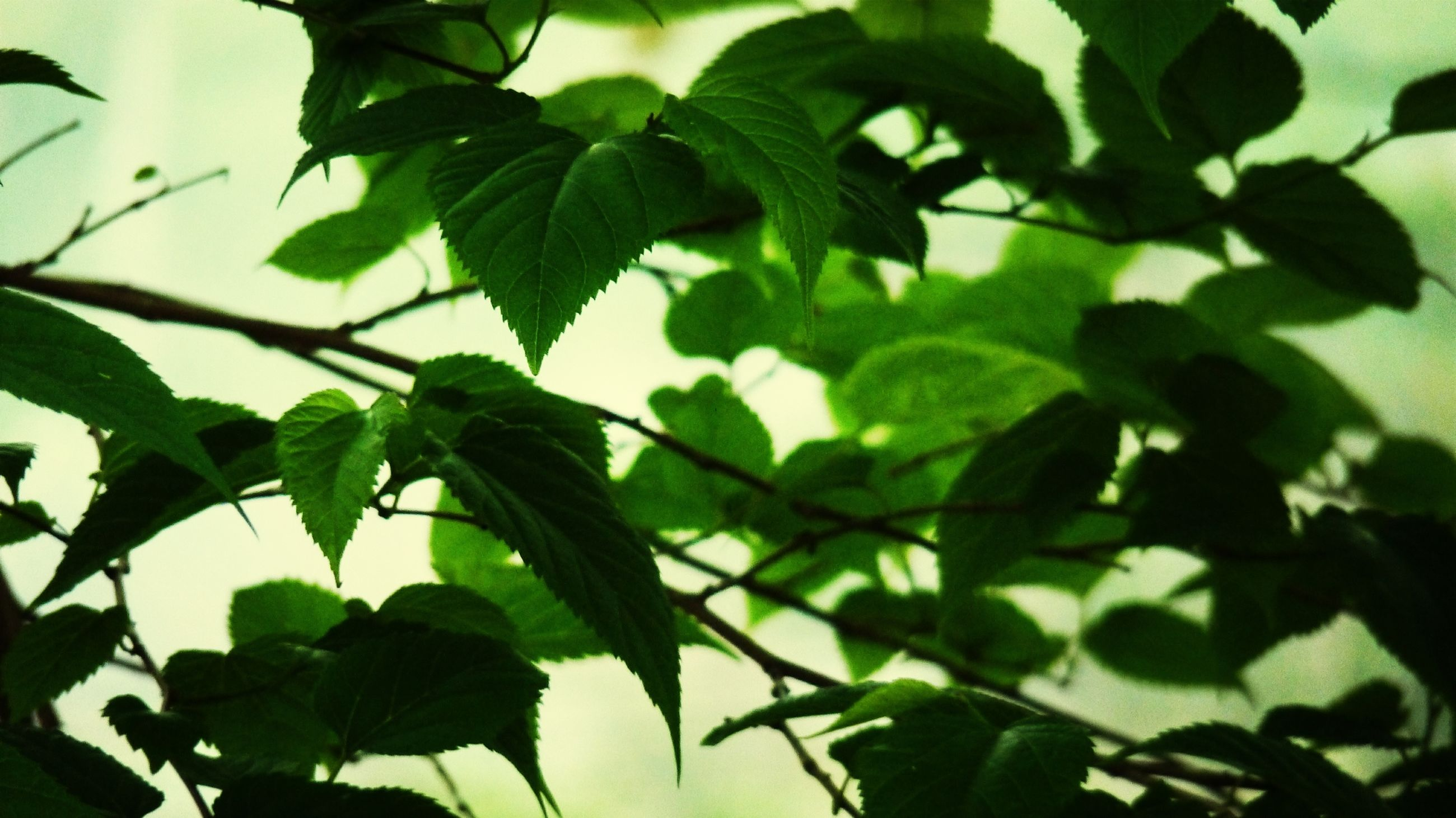 leaf, growth, green color, branch, tree, low angle view, nature, close-up, plant, leaves, focus on foreground, sunlight, beauty in nature, day, leaf vein, no people, outdoors, tranquility, backgrounds, twig