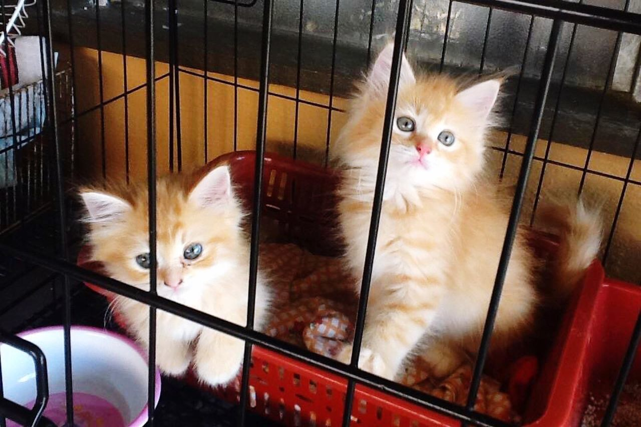 pets, domestic cat, domestic animals, animal themes, mammal, cage, feline, indoors, cat, looking at camera, one animal, portrait, no people, kitten, day