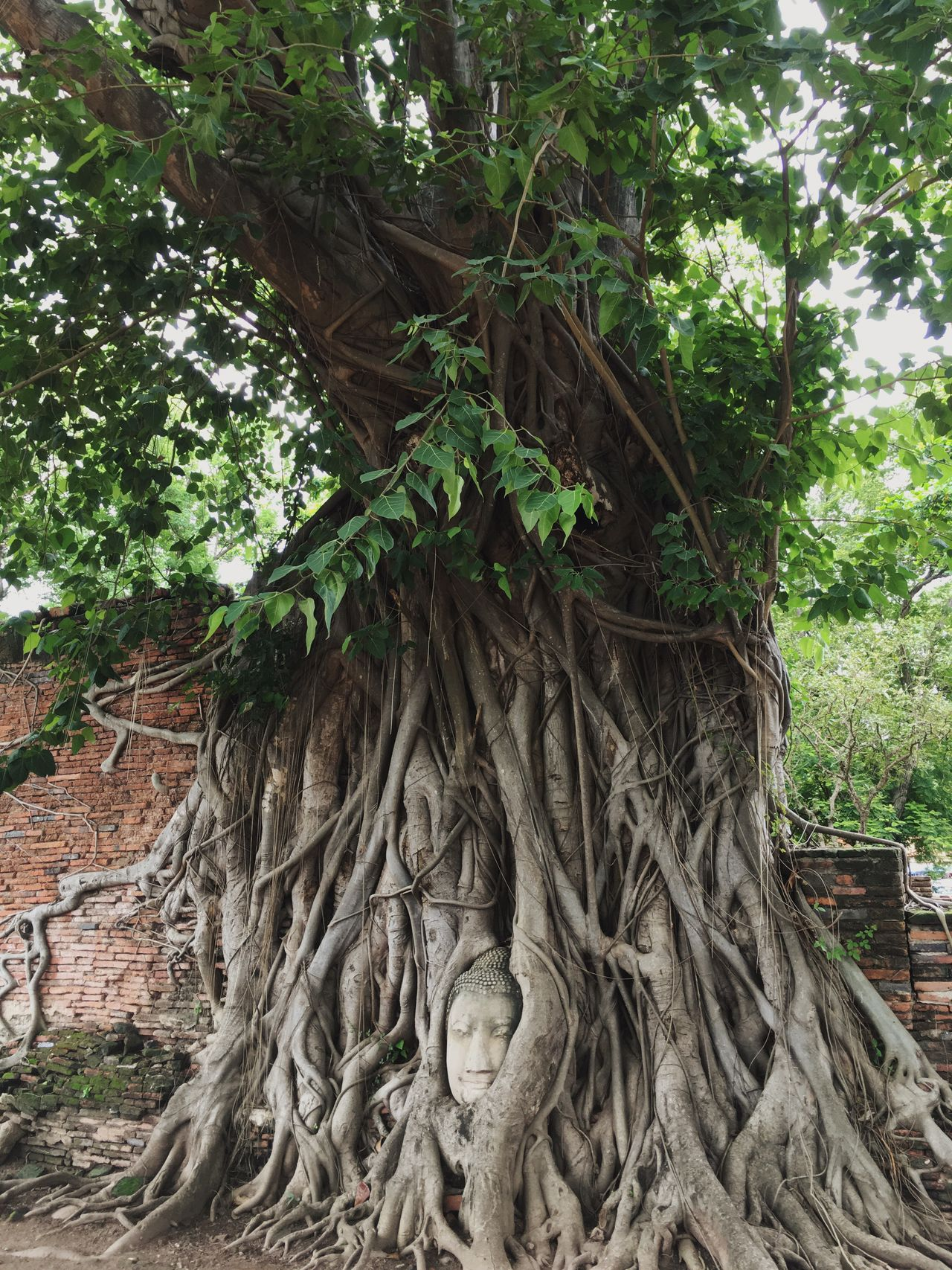 Buddha Tree Nature Ancient Bigtree HEAD Thaiculture Culture Outdoors Leaf Root Vacations