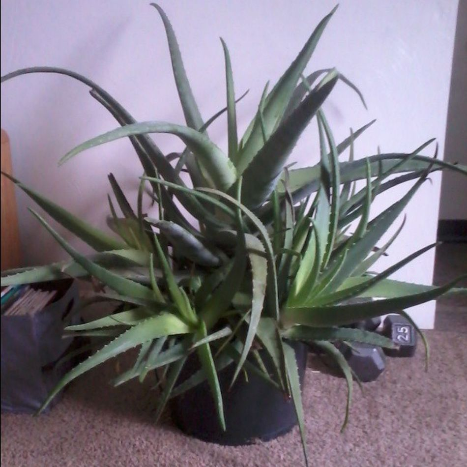 Aloe likes its new home. It has grown so much in 3 months I now need a much larger planter. Aloe Plant Aloeplant Succulent Healthyplant Oxygen Health Sobig Medicine Homeremedies Natural