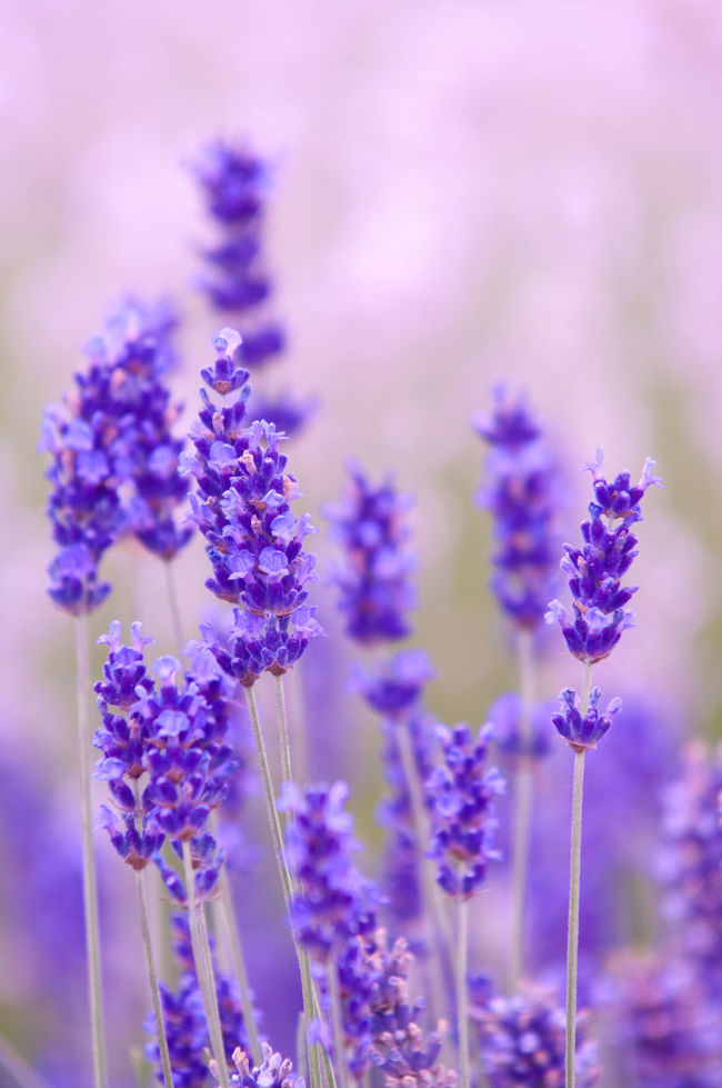 Lavender flower Natural look of purple Lavender flowers Lavandula Aroma Aromatic Beauty In Nature Close-up Day Flower Flower Head Fragility Fragrance Freshness Growth Herbal In Bloom Lavandula Lavender Lavender Field Lavenderflower Nature Oil Petal Plant Purple Selective Focus