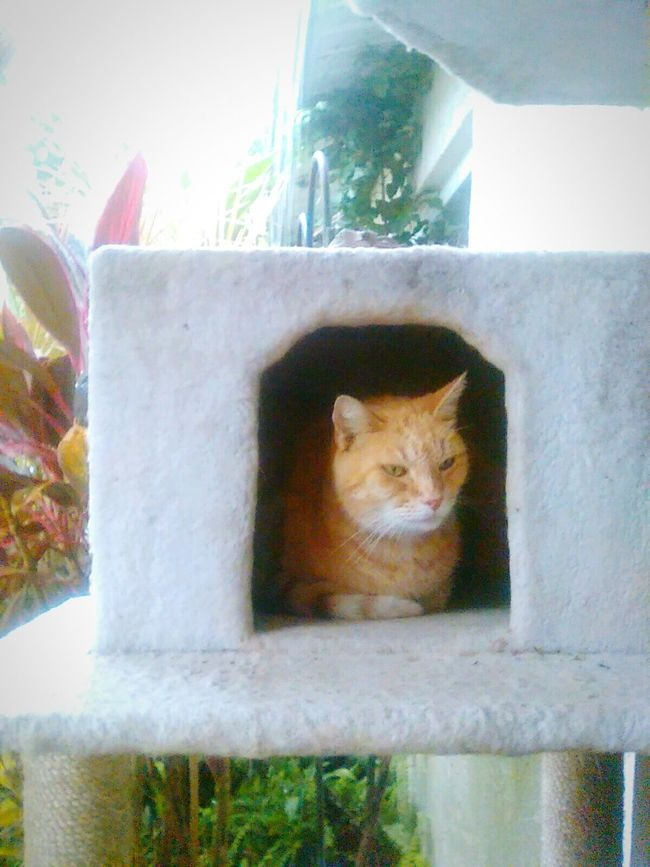 Cat Peeking Pets Lens Flare Architecture Cat Tree Cat In A Box Cat Watching Cats Of EyeEm LookingCute  Animal Head  Animal Themes Domestic Animals Domestic Cat Cute Pets Green Eyed Cat Orange Cat Feline Katze Built Structure Cat Thinking Kitty Cat Outdoors Day Lost In Thought...