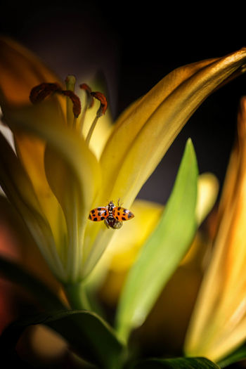 Beauty In Nature Close-up Day Flower Flower Head Fragility Freshness Growth Ladybug Macro Nature No People Outdoors Petal Yellow