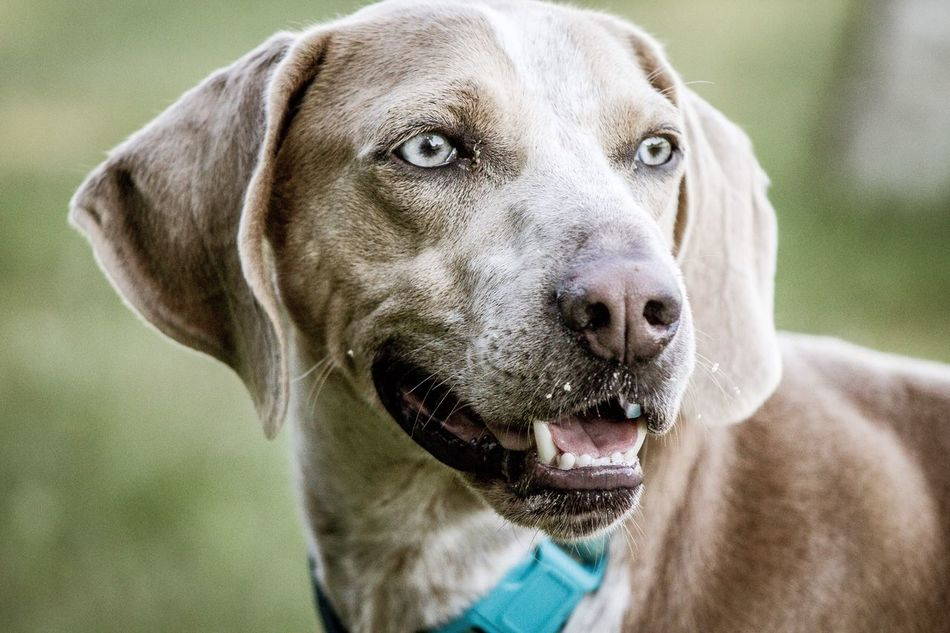 Weimaraner Dog Pets Domestic Animals Animal Themes Weimaraner Mammal One Animal Pet Collar Focus On Foreground Outdoors Day Portrait Close-up Pet Eyes Pretty No People Looking At Camera