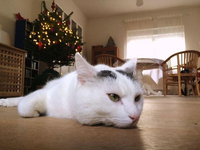 White cat lying on floor Christmas tree in background Pets One Animal Domestic Animals Indoors  Animal Themes Mammal Home Interior No People Close-up Christmas Christmas Tree