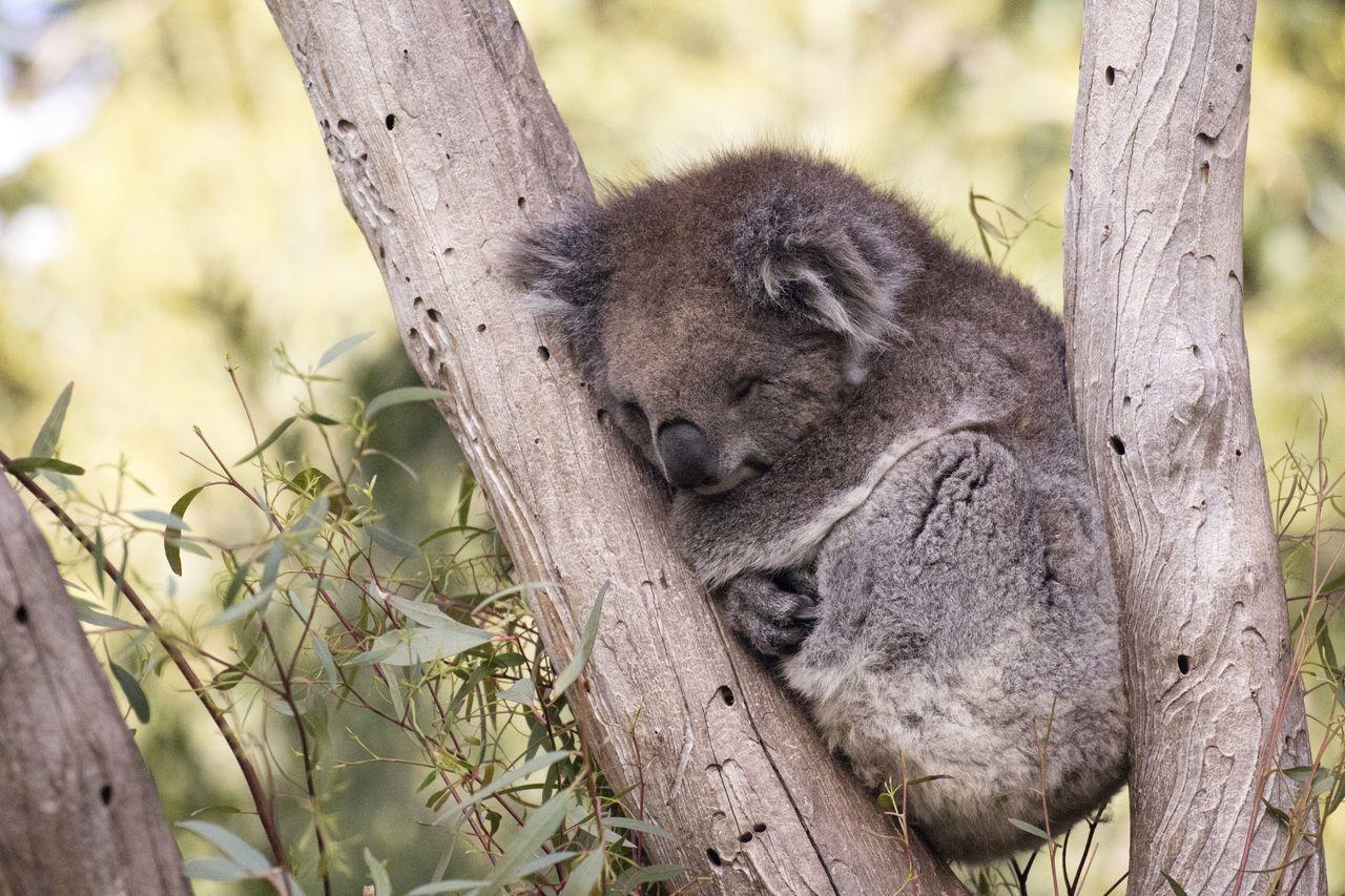 Sleepy koala Animal Themes Animal Wildlife Animals In The Wild Asleep Australia Branch Cute Day Fur Gum Tree Koala Koala In Tree Marsupial Nature Nature No People One Animal Outdoors Sleepy Sleepy Koala Sleepy Time Tired Tree Tree Trunk Wildlife