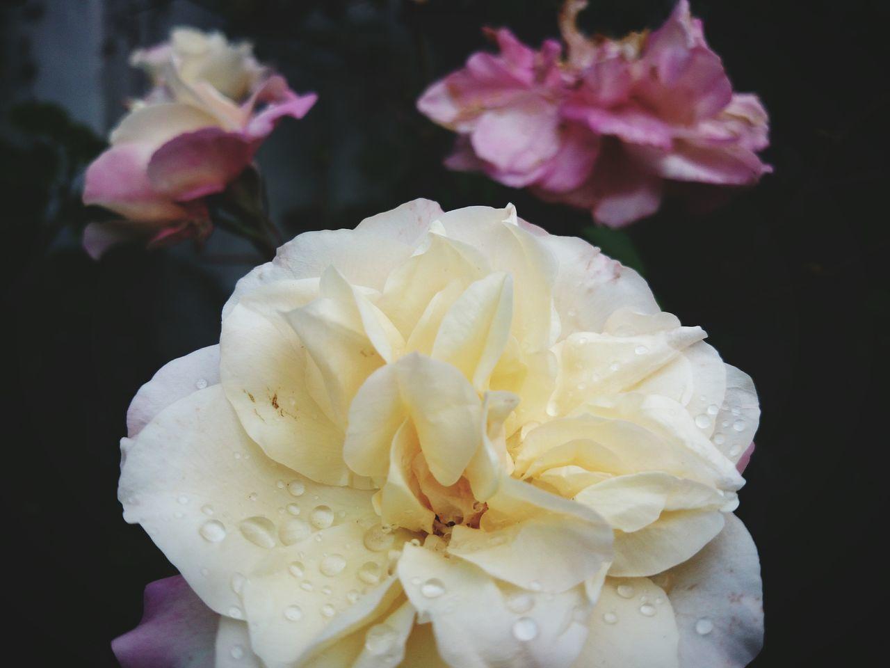 Flowers,Plants & Garden Rose🌹 Flowers Flower Flower Collection White Garden Garden Photography Photooftheday Followme Follow4follow Yellow Roses Blur