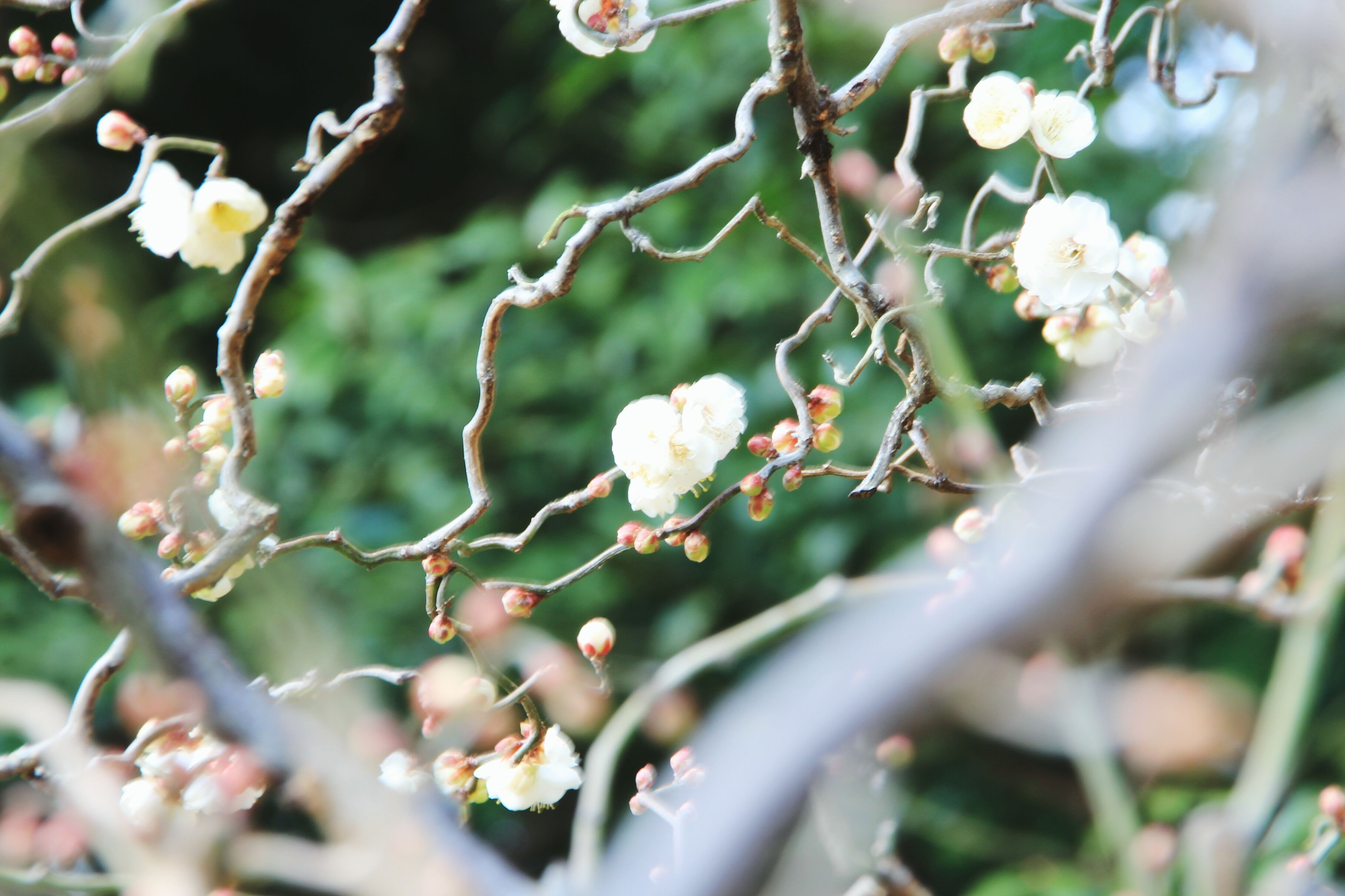 flower, growth, freshness, fragility, beauty in nature, focus on foreground, close-up, white color, nature, petal, plant, selective focus, blooming, flower head, blossom, in bloom, branch, twig, outdoors, day