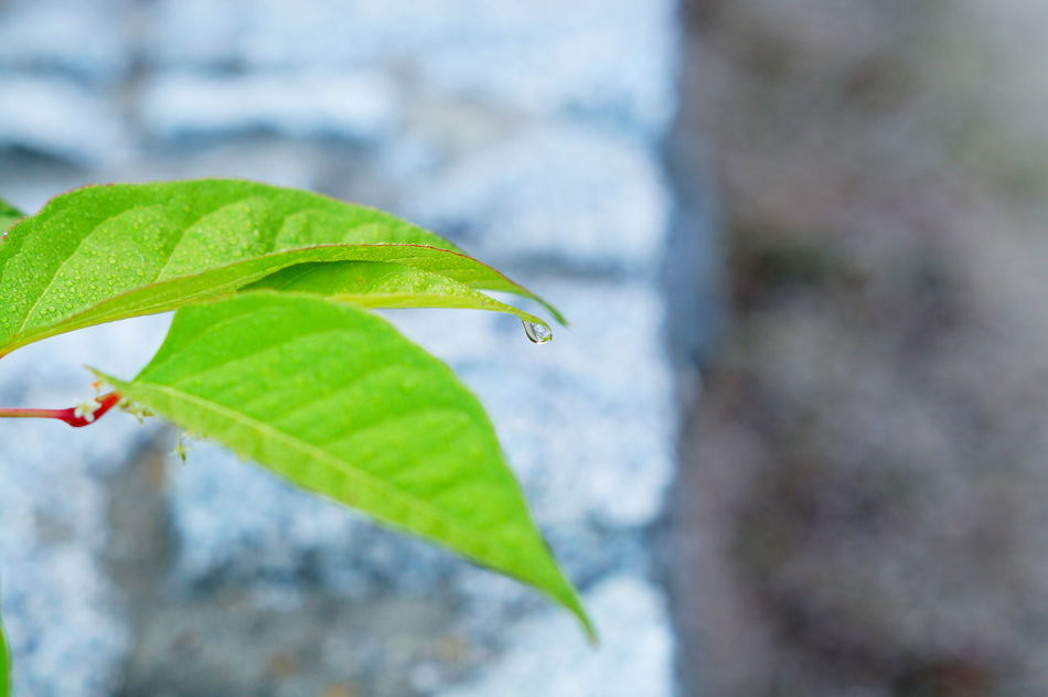 Beauty In Nature Botany Close-up Day Focus On Foreground Fragility Freshness Green Color Growth Leaf Leaf Vein Macro Macro Photography Macro_collection Makro Makro Photography Makro_collection Morgentau Nature Outdoors Plant Selective Focus Tau Tautropfen Water
