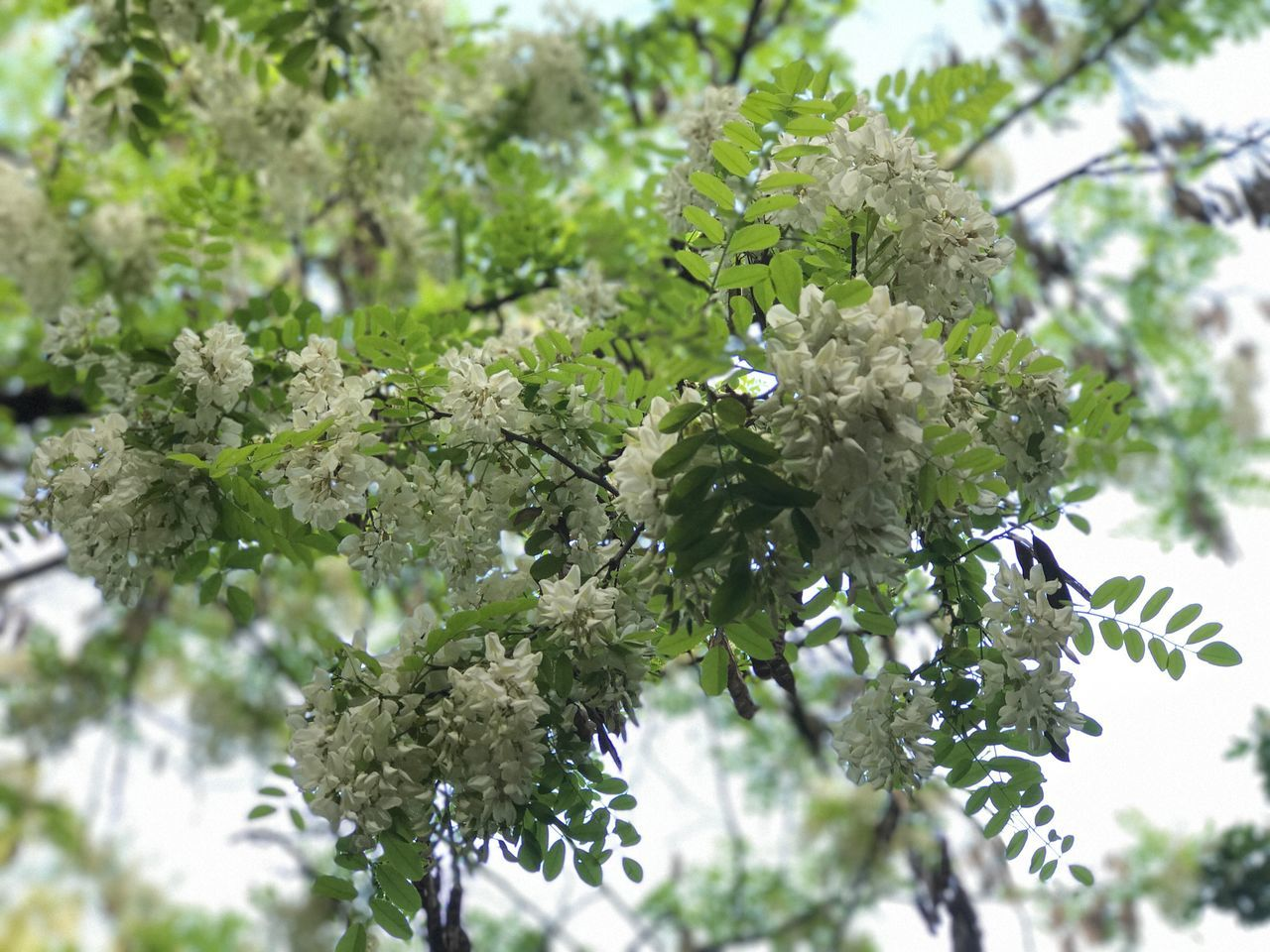 Tree Nature Growth Blossom Green Color No People Flower Branch Leaf Day Beauty In Nature Plant Freshness Outdoors Low Angle View Fragility Close-up Flower Head Acacia Acacia Tree Acacia Flowers Springtime