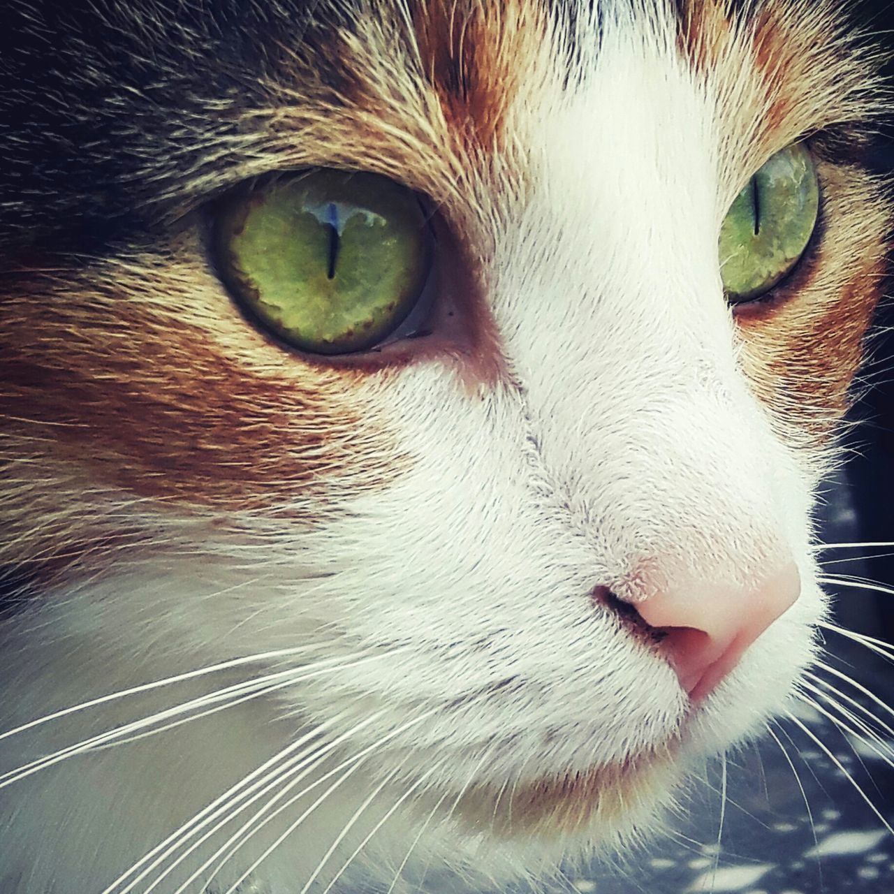 Pets Domestic Cat Domestic Animals Animal Head  Mammal Animal Themes Cateyes Cats One Animal Photographer Photography Model Cute Cute Pets cat Cats Of EyeEm Cat Photography Cat Portrait Feline Animal Eye Whisker Close-up No People Day Eyem Select
