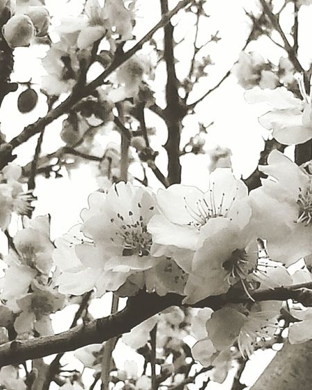 Vintage Kirschblüte Cherry Blossom Cherryblossom Cherry Blossoms Kirschblüten  Flowerporn Flower Photography Mobilephotography Showcase: February Flowerlovers Mobile Photography Soft Colors  Flowers Vintage Flowers Flower Collection Vintagestyle Schwarz & Weiß Black And White Photography Black And White Collection  Black And White Black & White Schwarzweiß Blackandwhite Photography Urban Spring Fever