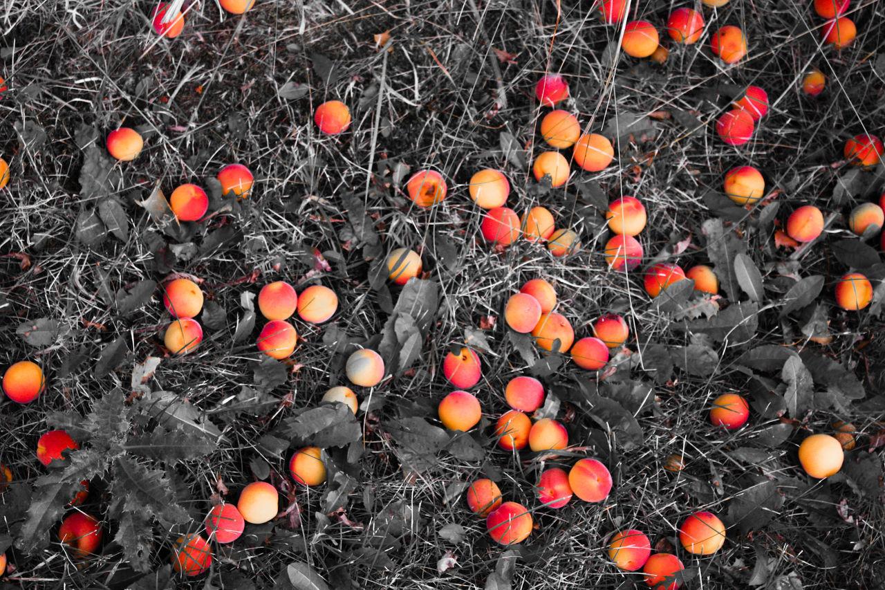 Apricot Tree ApricotBlossom Apricots Dandelion Fences Flowerporn Flowers,Plants & Garden Foodphotography Fruit Tree Fruitporn Fruityloops Orange Color Pinecone Treescollection Colour Palette Color Palette