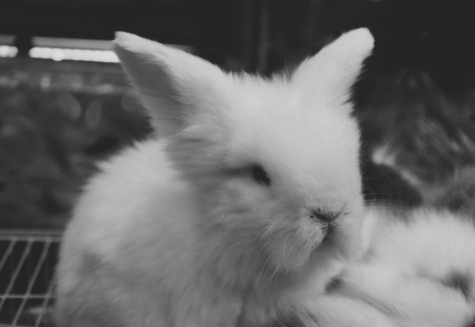 Alone Animal Animal Photography Animal Themes Animals Black & White Black And White Blackandwhite Close-up Cute Cute Pets Cute Pets Cat Domestic Animals Life Life Is Beautiful Lifestyles Lovely Mammal One Animal Outdoors Pets Rabbit Rabbits Rabbits 🐇 White