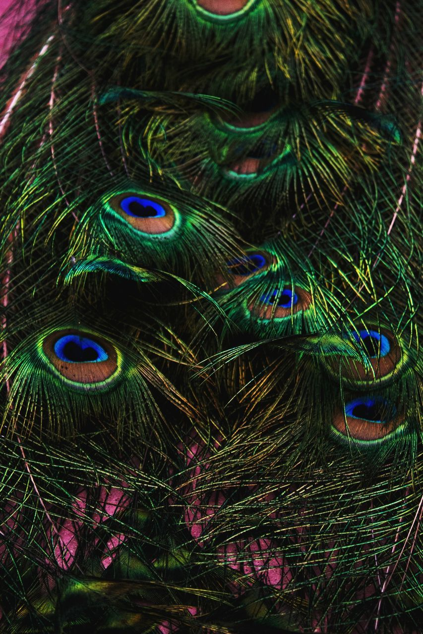 peacock, peacock feather, feather, bird, one animal, multi colored, beauty, close-up, animal themes, fanned out, beauty in nature, looking at camera, no people, nature, vanity, portrait, outdoors, day