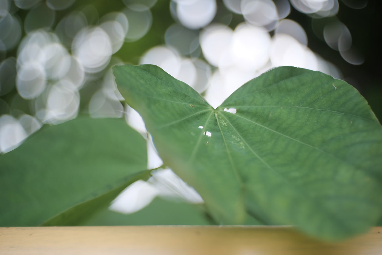 leaf, green color, close-up, fragility, no people, day, nature, growth, freshness, beauty in nature, outdoors