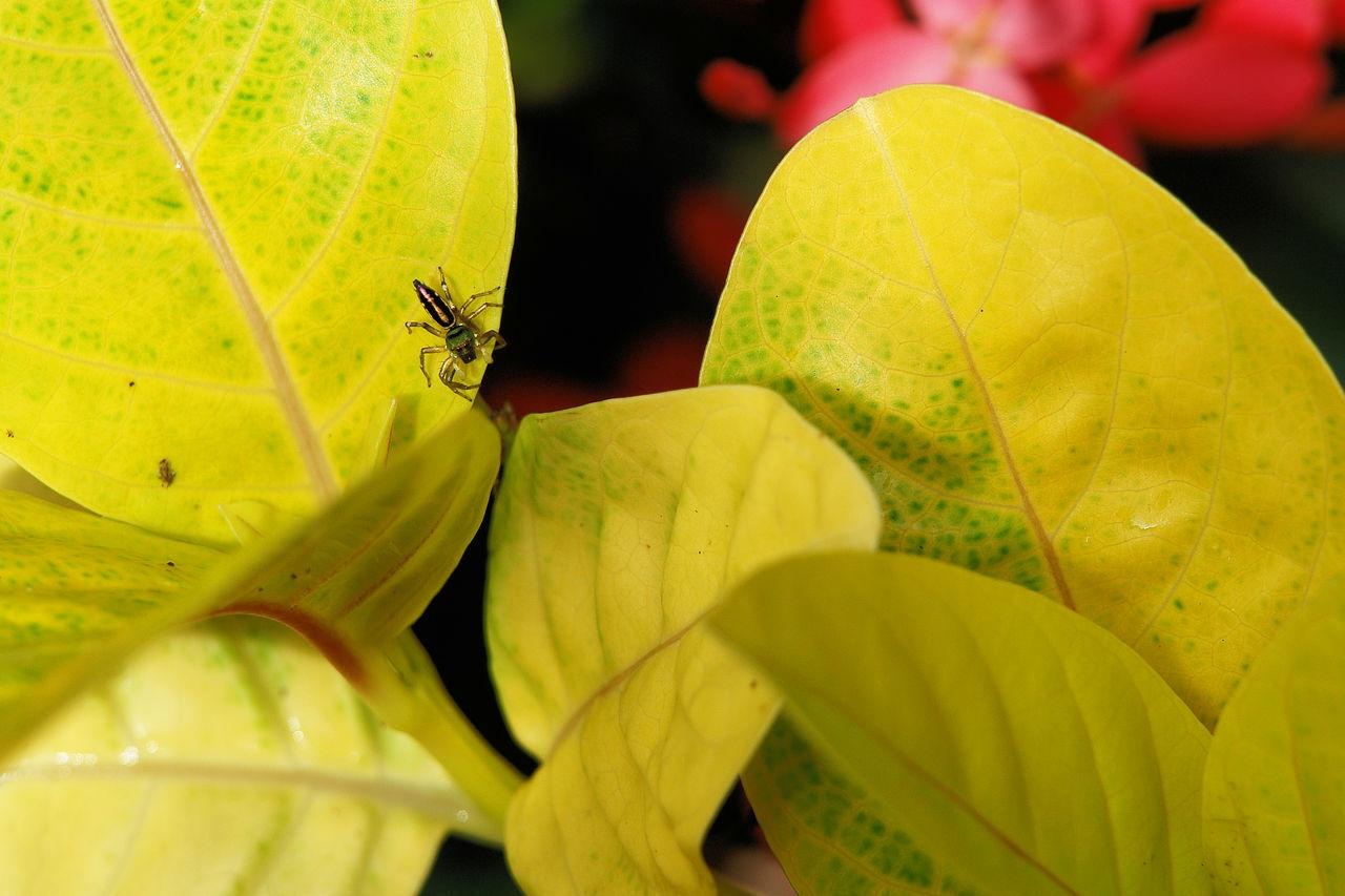 Spider On Yellow Leaf