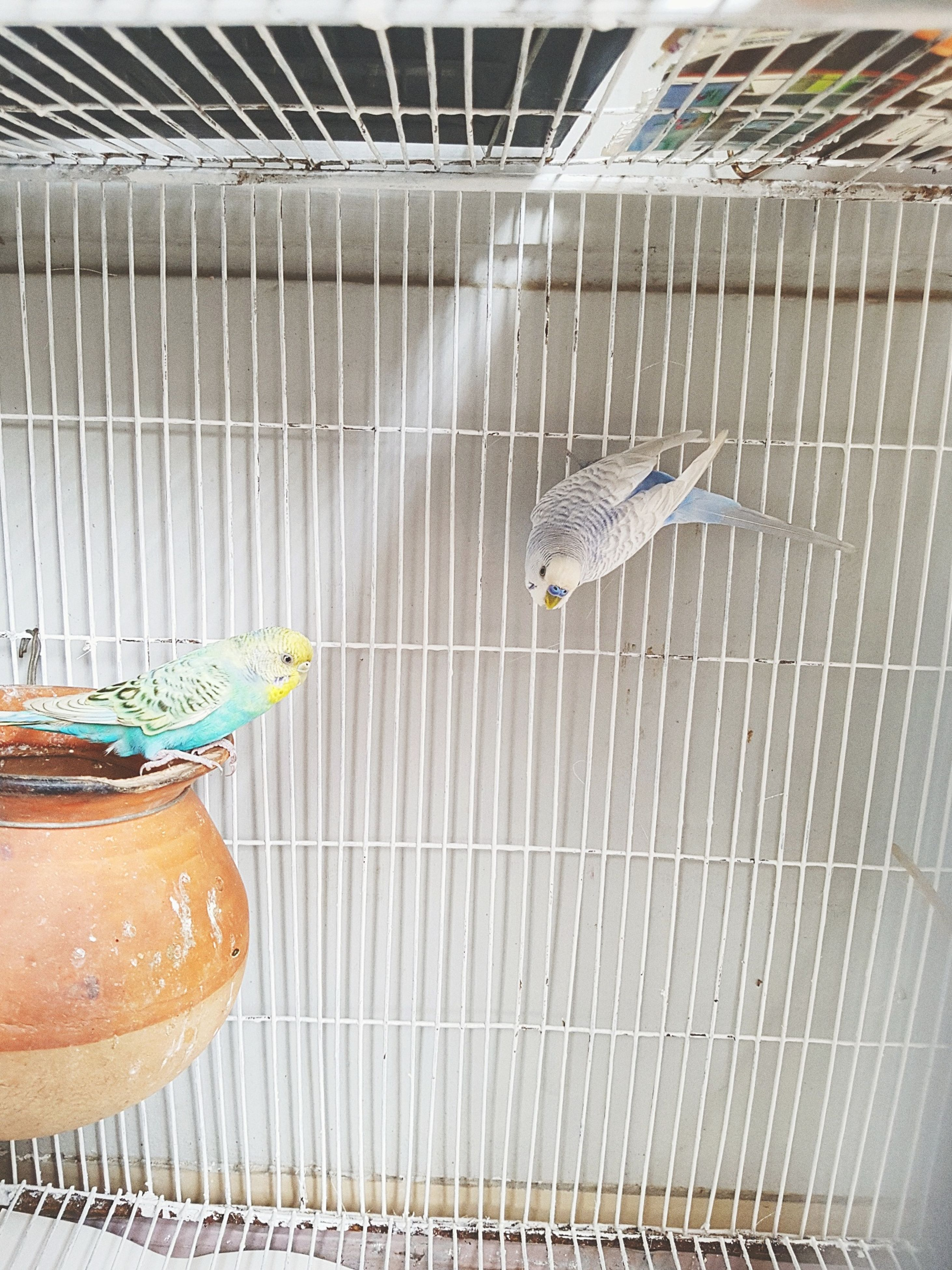 bird, animal themes, no people, birdcage, cage, animal wildlife, animals in the wild, day, perching, indoors, nature, close-up
