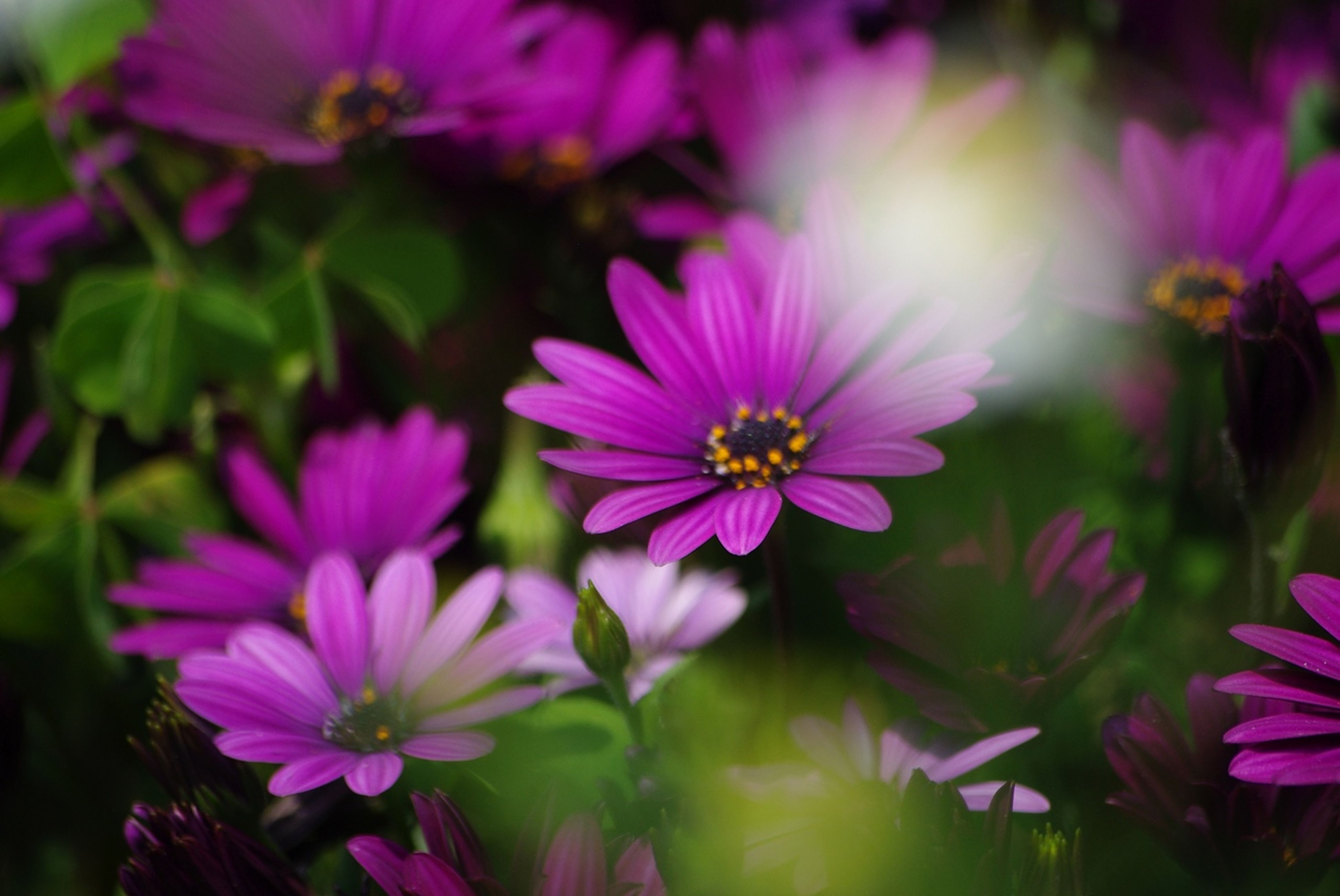 flower, freshness, petal, fragility, flower head, growth, beauty in nature, pink color, blooming, nature, focus on foreground, close-up, plant, pollen, in bloom, blossom, stamen, park - man made space, day, outdoors