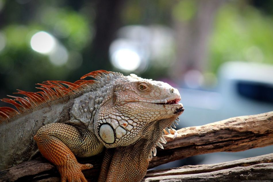 I loved this alien creature!!!!!! Khao Kheow Open Zoo Pattaya,Thailand,Canon 1300D,by:Me!!!! Reptile Animal Themes One Animal Bearded Dragon Animals In The Wild Animal Wildlife Focus On Foreground Lizard Close-up Day No People Outdoors Nature Iguana Lizards Iguanas Wildlife Photography Wildlife & Nature Wildlife Reptilelover Animals Reptilelove Reptile World Reptiles 😚
