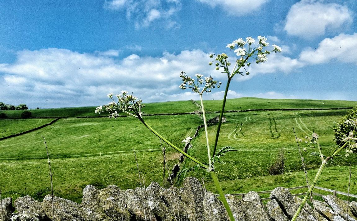 Check This Out Cowparsley Countryside Fragility Hedgerow Drystonewall Gritstone Darkpeak Grasses Wildflower Wildflowers Transience Eye For Photography Natural Light Eyem Gallery MyWorldInPictures Eyemphotography Eyemcaptured Eye4photography  Landscape_photography Landscape #Nature #photography Landscapelovers Rural Scenes