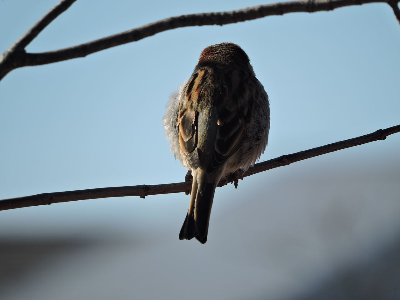 sparrow in the sun Animal Themes Animal Wildlife Animals In The Wild Beak Bird Branch Clear Sky Close-up Day No People One Animal Outdoors Perching Sunlit Tree