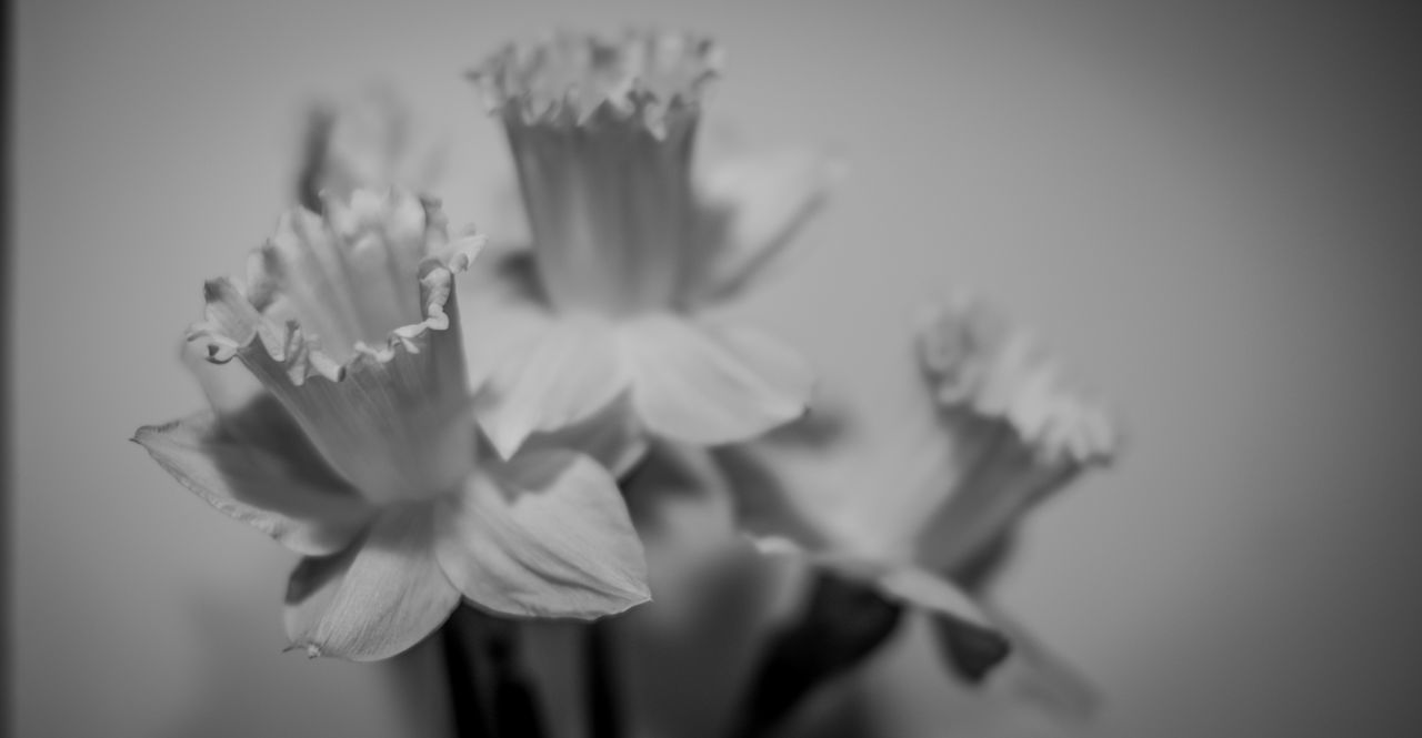 Beauty In Nature Black And White Photography Blackandwhite Bokeh Bokeh Photography Close-up Day Flower Flower Head Fragility Freshness Growth Nature No People Petal Plant Spring Flowers