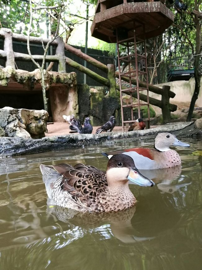 Just chilling Ducks Duck Animals Animal Themes Animal Petting Zoo Zoo Fauna Water Lake Bird Swimming Park - Man Made Space Water Bird Outdoors Floating On Water HuaweiP9 HuaweiP9plus