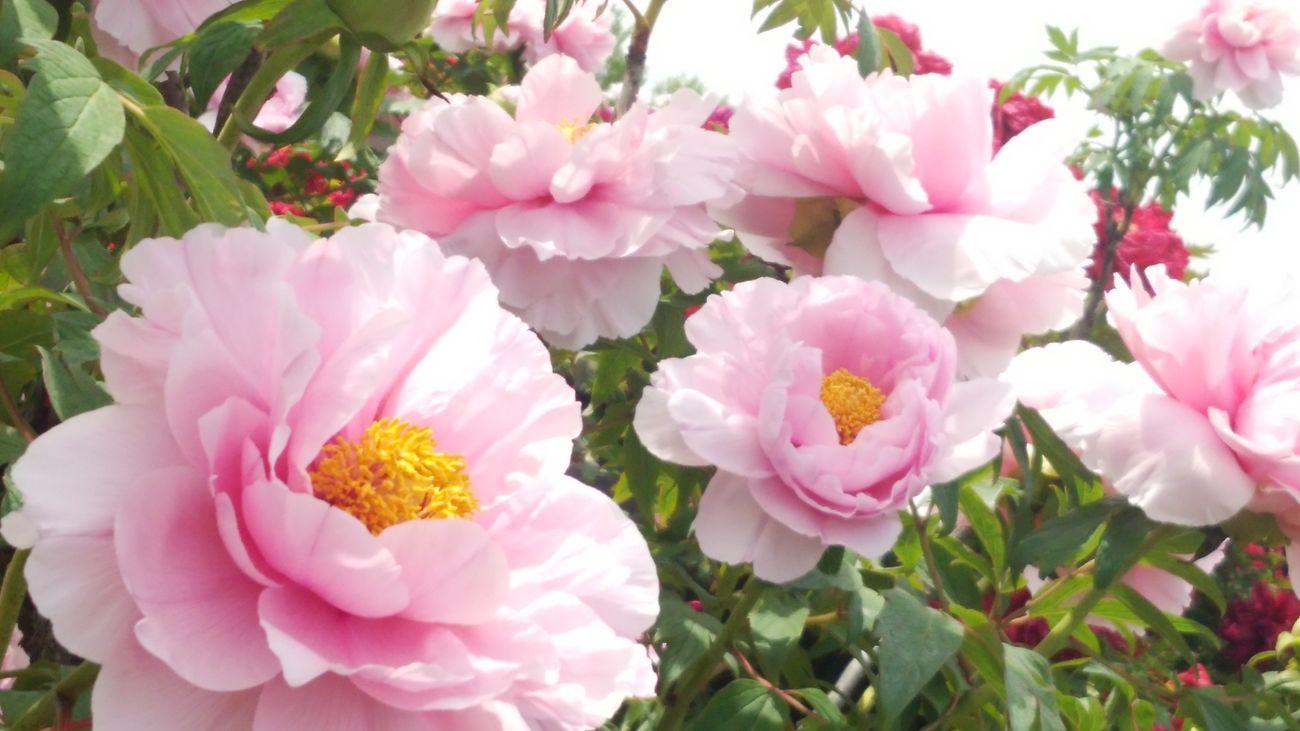 flower 牡丹 暑い💦