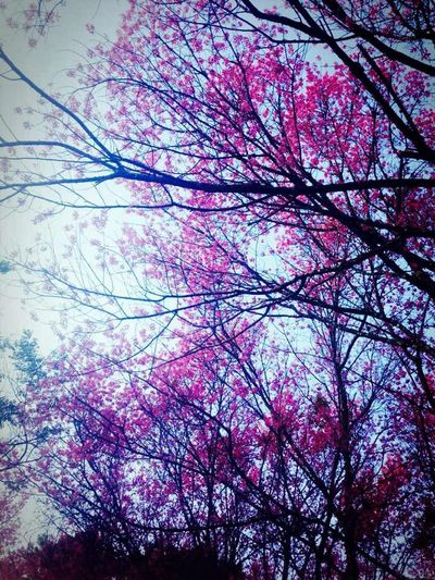 Wild Himalayan Cherry Backgrounds Beauty In Nature Blossom Chiang Mai | Thailand Cloud - Sky Day Growth Nature No People Pink Color Prunus Queen Tiger Sky Tree