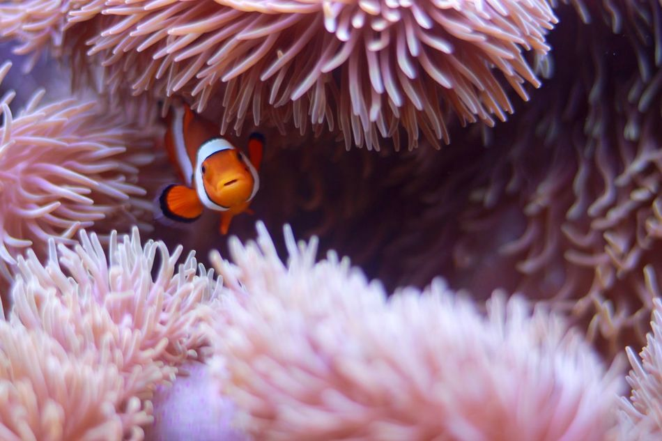 Beautiful stock photos of fisch, Animal Themes, Animals In The Wild, Beauty In Nature, Clown Fish