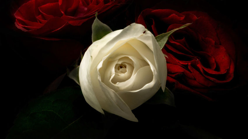 White rose among the red ones Love Nature Nature Photography Red Roses Beauty In Nature Black Background Bloom Blooming Blooming Flower Bloosom Close-up Flower Flower Head Fragility Freshness Growth Indoors  Nature No People Petal Plant Red Rose Rose Petals Studio Shot White Rose Love Yourself