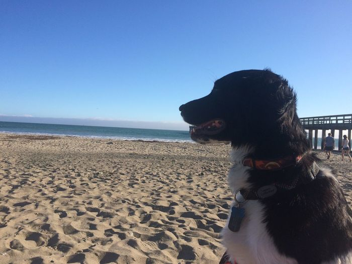 Summer Dogs Exploring I Love My Dog Beach English Setter Coast Bart enjoying being at the beach this summer. It was his first time there and he didn't want to leave (much like his human - aka me).