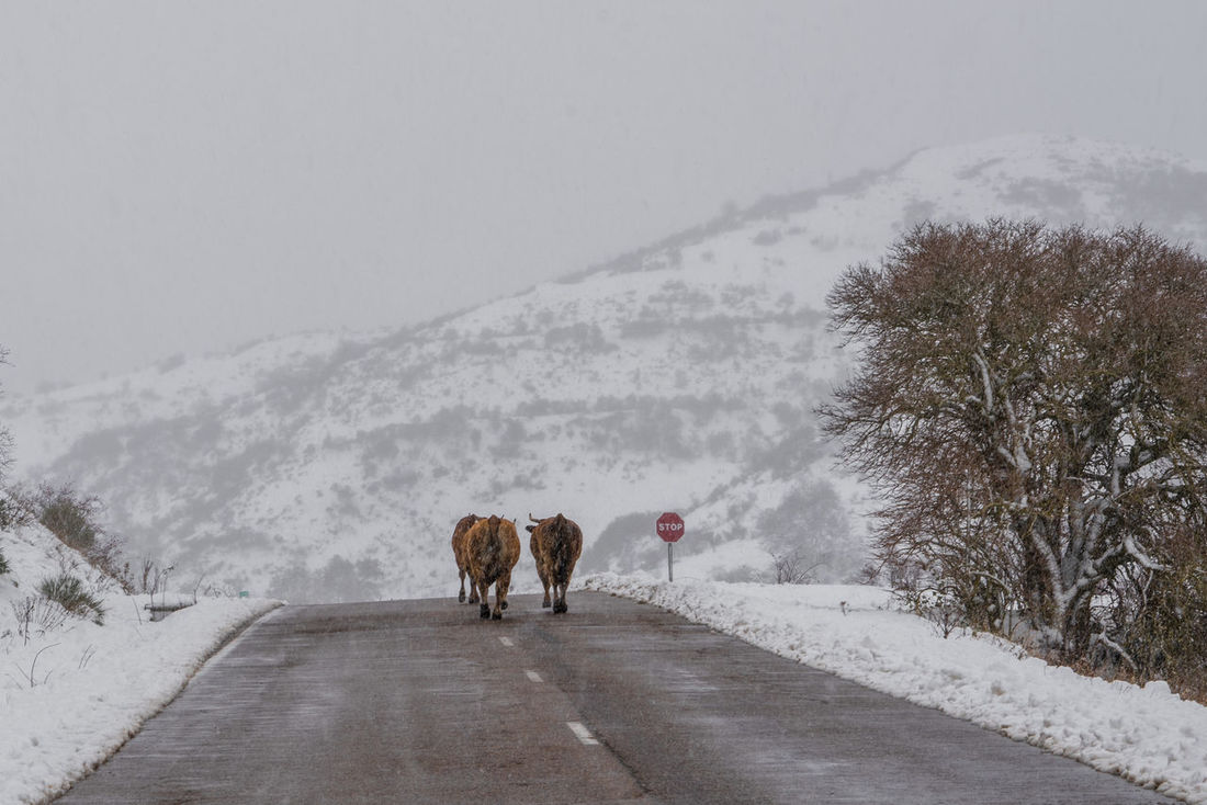 Snow memories Babia Cattle Cows Fall Lonely Road Road Snow Snowstorm Traveling