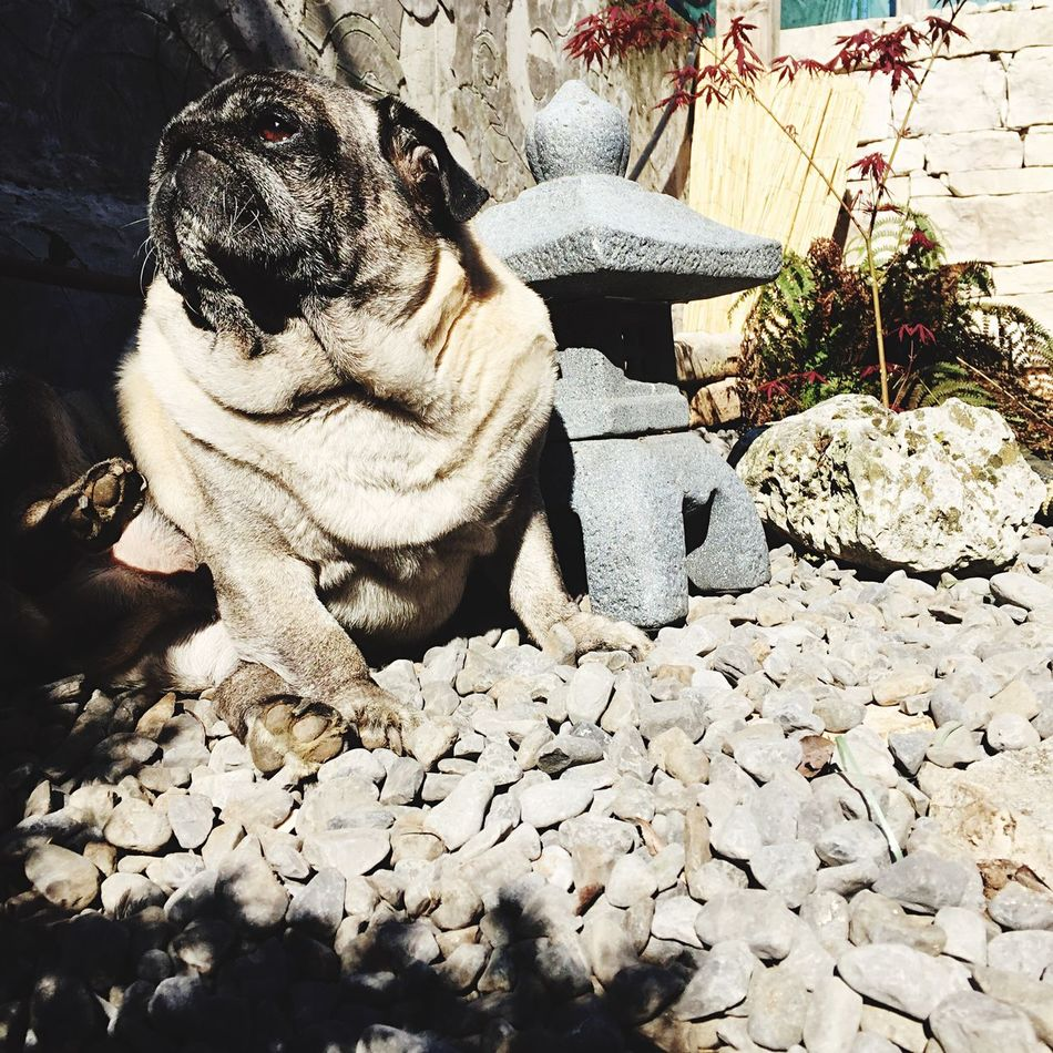IPhoneography IPhone Iphoneonly Iphonephotography IPhone Photography Zen Zen Garden Zen Attitude Cute Cute Dog  Pug Pug Life  Pugs Meditation Meditation Time Meditation Place Meditation Garden Meditation Zen Meditation & Levitation Pets Mantra Saturdaymorning Primetime Spring Springtime