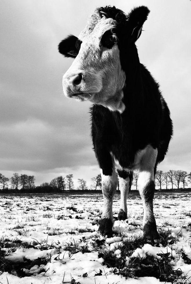 As Cow today in Snowy Driebergenrijssenburg very Dutch Landscape