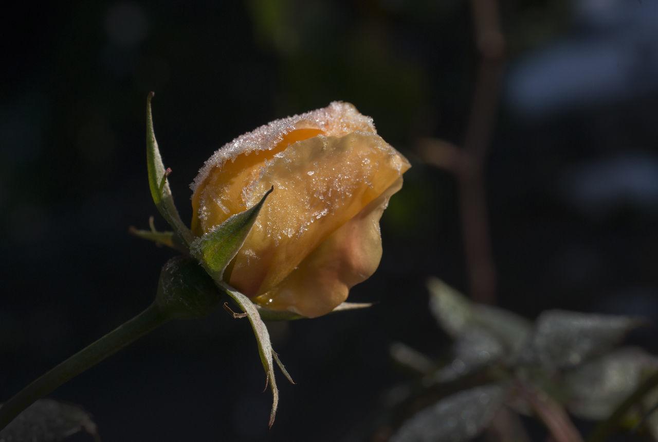 Eisblume  Garden Flowers Gardening Iceflower Orange Rose🌹 Winter Winterflower Winterrose