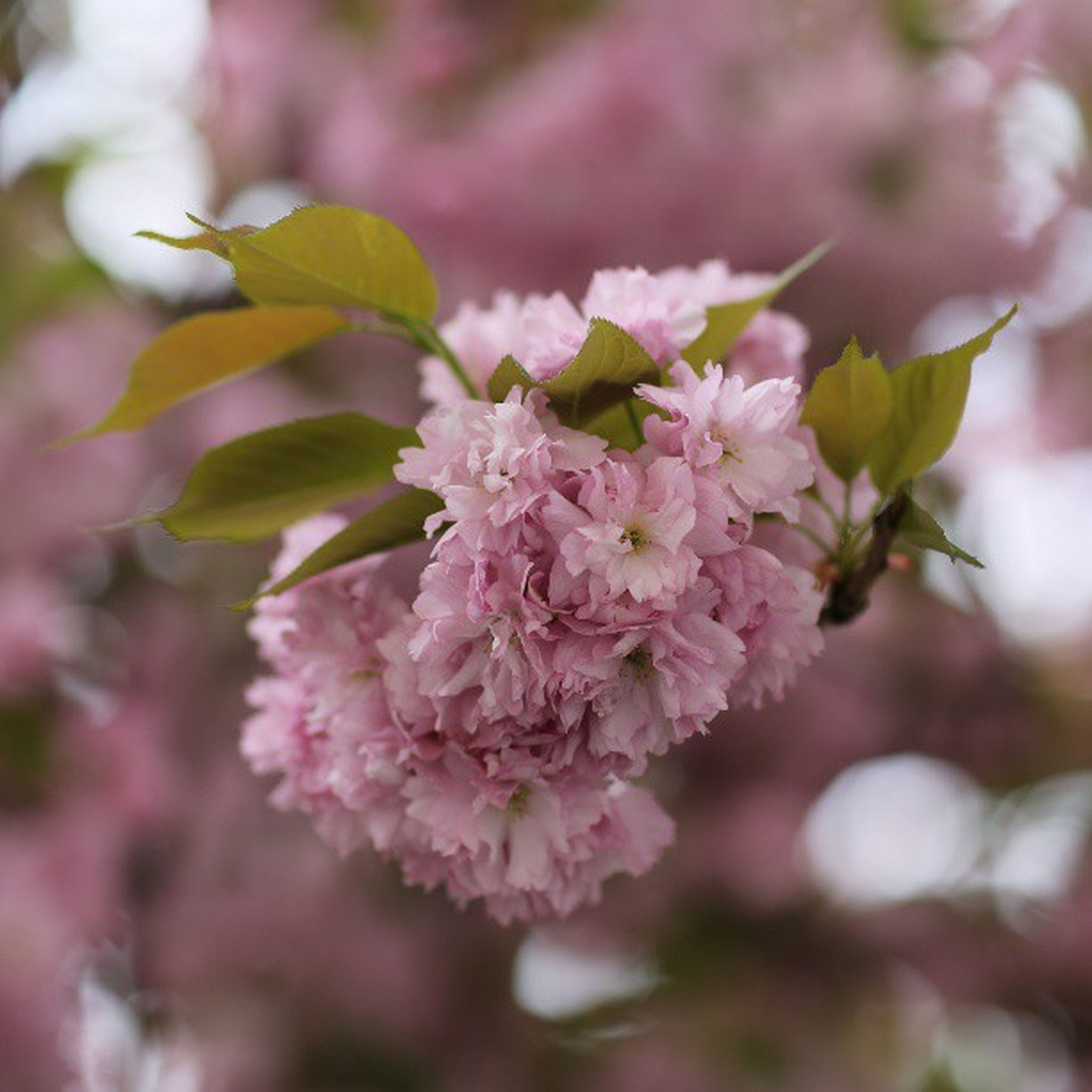 flower, freshness, growth, fragility, pink color, beauty in nature, focus on foreground, petal, close-up, nature, branch, blossom, blooming, in bloom, tree, flower head, plant, springtime, selective focus, cherry blossom