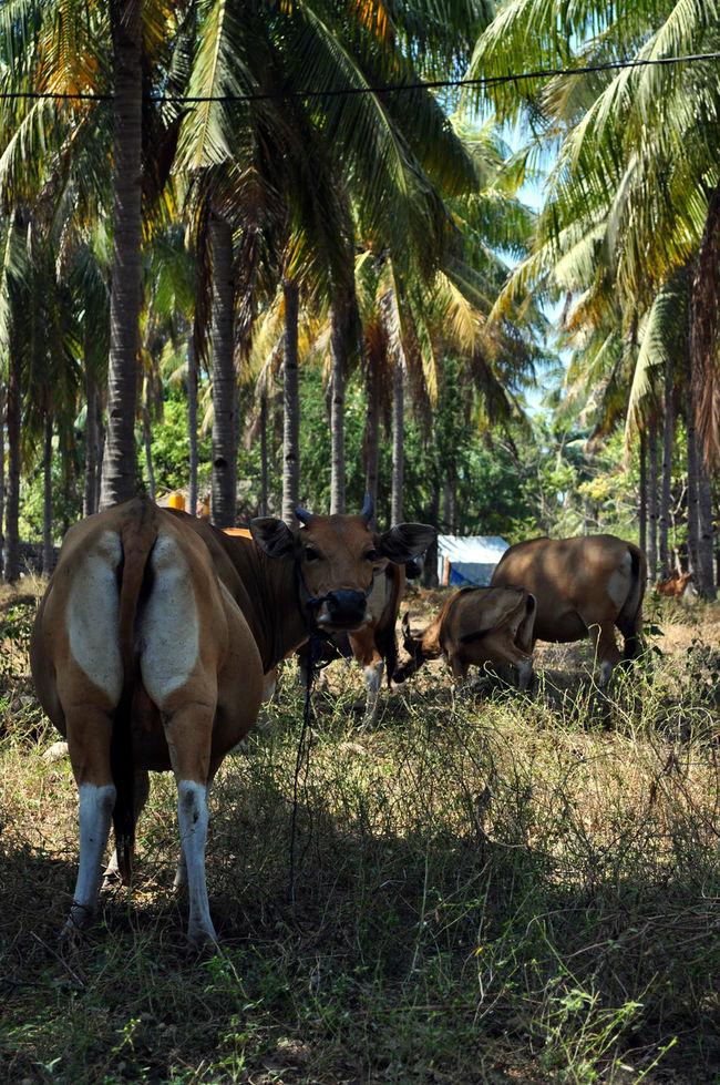 Cows Gili Islands Gili T Gili Trawangan Islandlife Cows Grazing Cowsofinstagram Cows In Grassland Cows In The Fields Island Life Cow