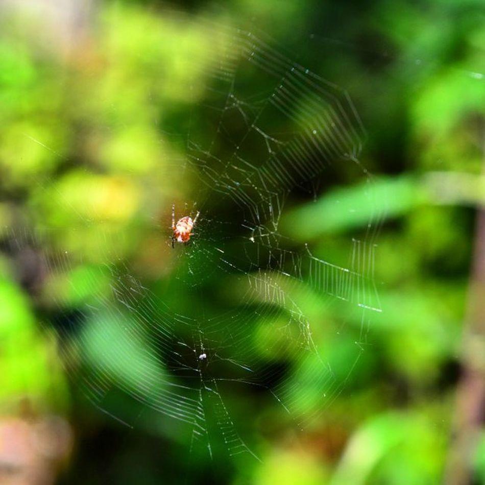 паучок паук паутина Лес Spiderman Spider Spiderweb Forest Nature Outdoor Landscape Wildlife VSCO Vscogood Ig макро Macro