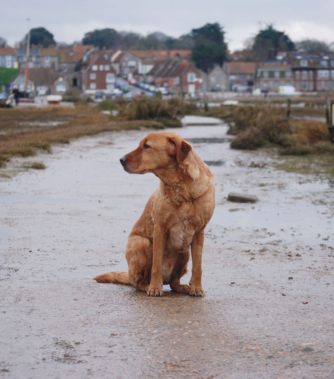 Bonzo @bonzosworld instagram Dog Animal Themes Pets Focus On Foreground Domestic Animals One Animal Red Lab Red Fox Lab Labrador Retriever Labrador Marsh Outdoors Day No People